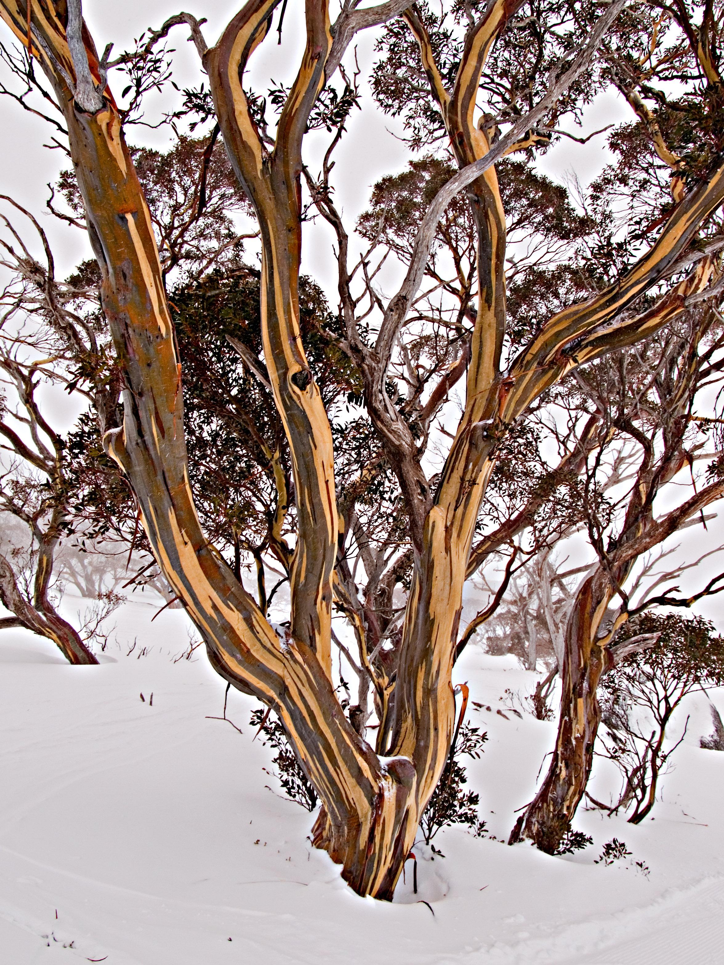 Iconic tree of Australian Alps - Snow Gum   Eucalyptus pauci…   Flickr
